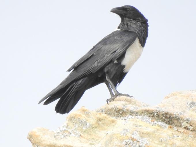 Pied Crow, Jardin du Roi, near Isalo NP, Madagascar