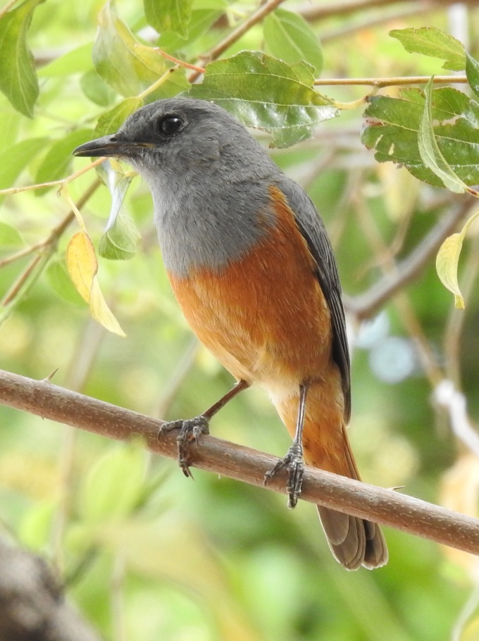"""Benson's"" Forest Rock Thrush, Isalo NP, Madagascar"