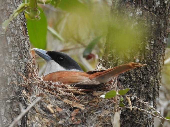 Rufous Vanga, Zombitse NP, Madagascar