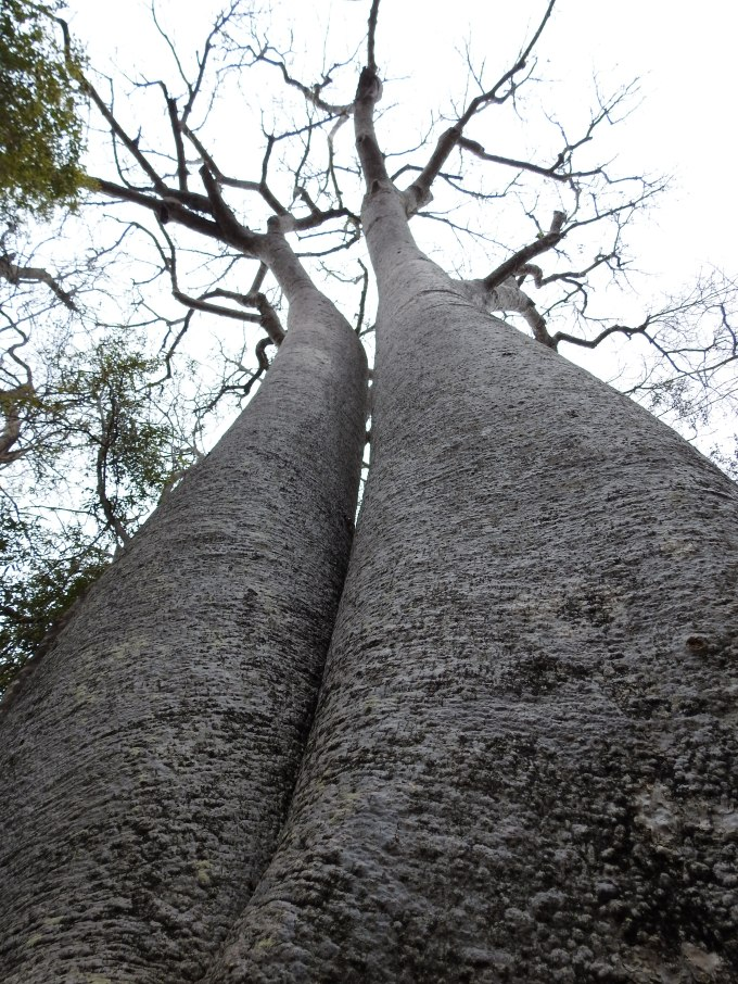 Adansonia za, Zombitse NP, Madagascar