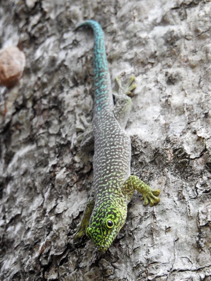 Standing's Day Gecko, Zombitse NP, Madagascar