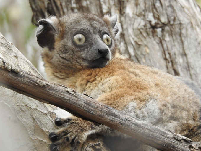 Zombitse Sportive Lemur, Zombitse NP, Madagascar