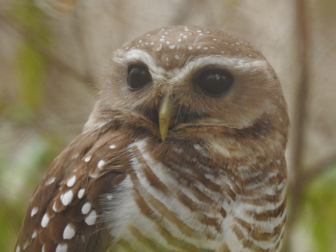 White-browed Owl, Zombitse NP, Madagascar