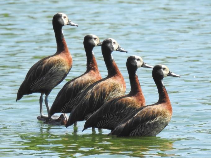 White-faced Whistling-Duck, Lac Alarobia, Tana, Madagascar