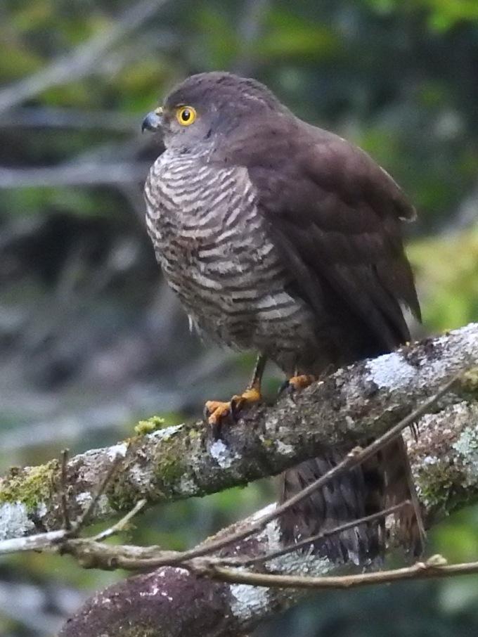 Francis' Sparrowhawk, Perinet, Madagascar