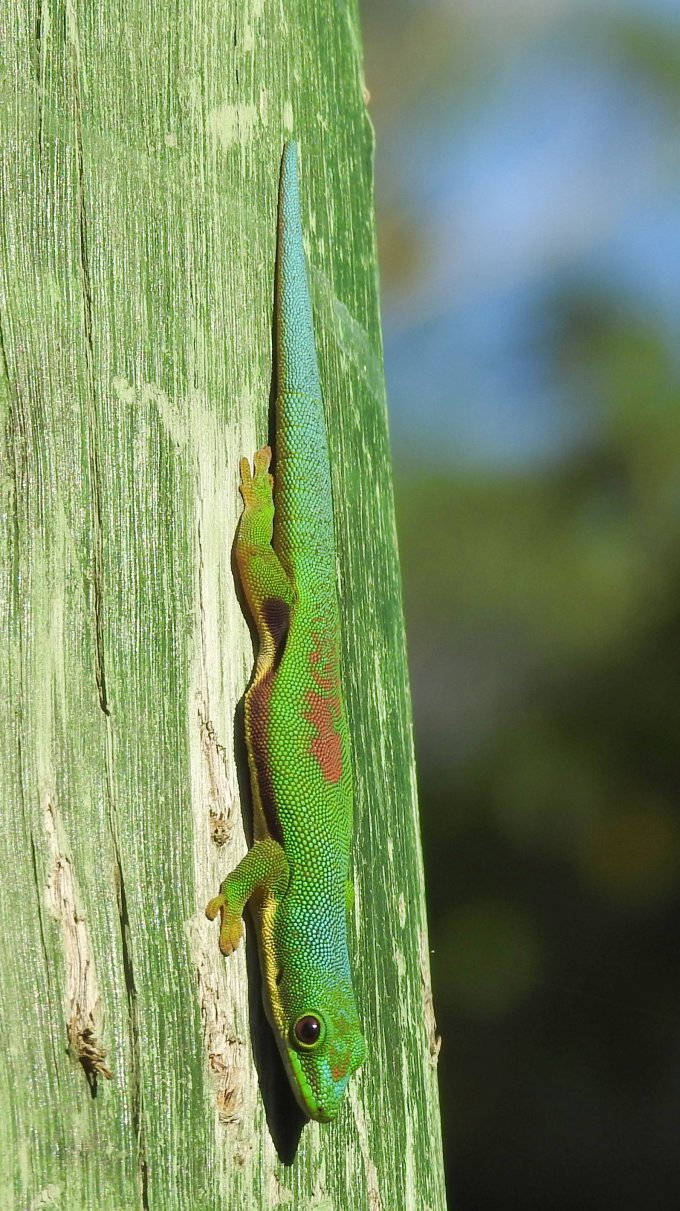 Lined Day Gecko, Perinet, Madagascar