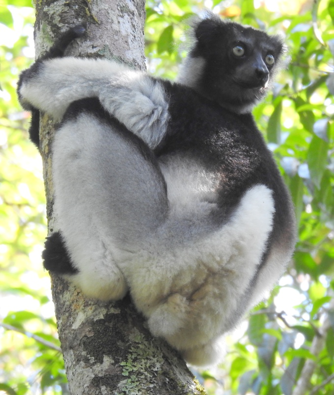 Indri, Andasibe NP, Madagascar