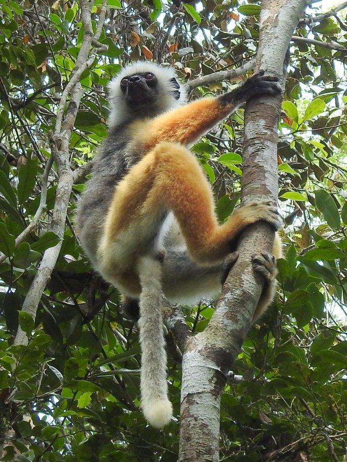 Diademed Sifaka, Andasibe NP, Madagascar