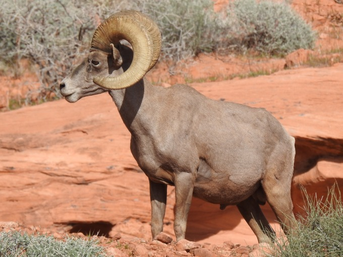 Bighorn Sheep, Valley of Fire SP, NV