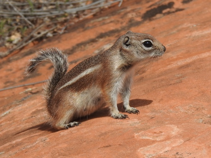 White-tailed Antelope Squirrel, Snow Canyon SP, UT