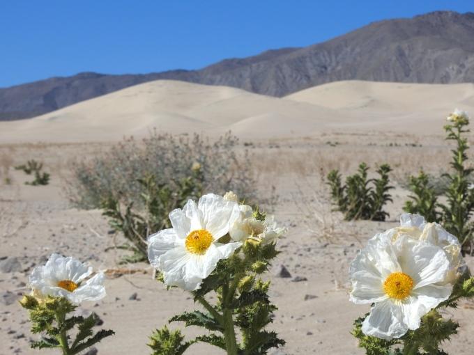 Prickly Poppies (Argemone munita), Panamint Dunes, Death Valley NP, CA