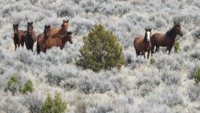 Feral horses, SE of Panaca, NV