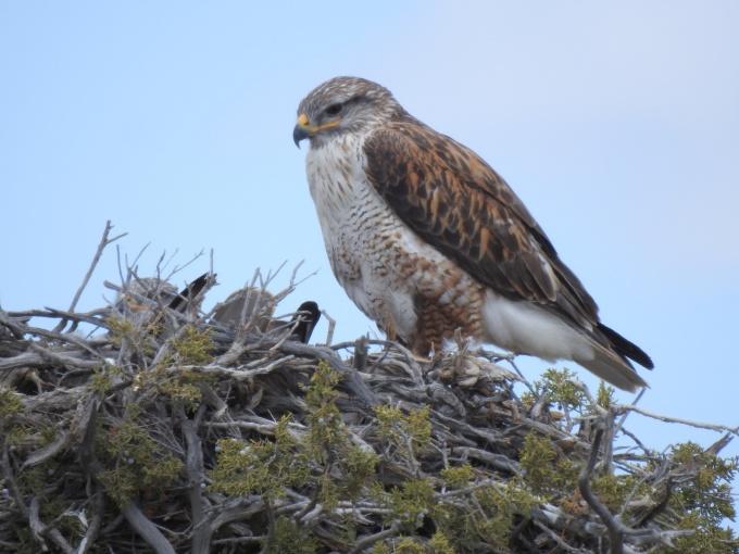 Ferruginous Hawk, with mate in nest, NW of Delta, UT
