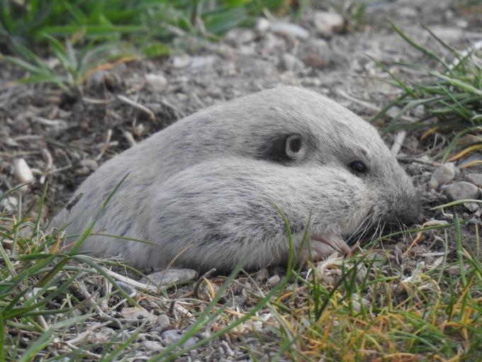 Pocket Gopher (Thomomys sp.), Simpson Springs, W of Vernon, UT