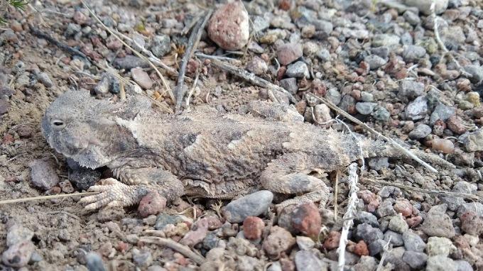 Desert Horned Lizard, BLM land NW of Delta, UT