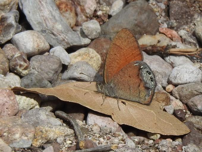 Canyonland Satyr, Cave Creek Cyn, Chiricahua Mtns, AZ