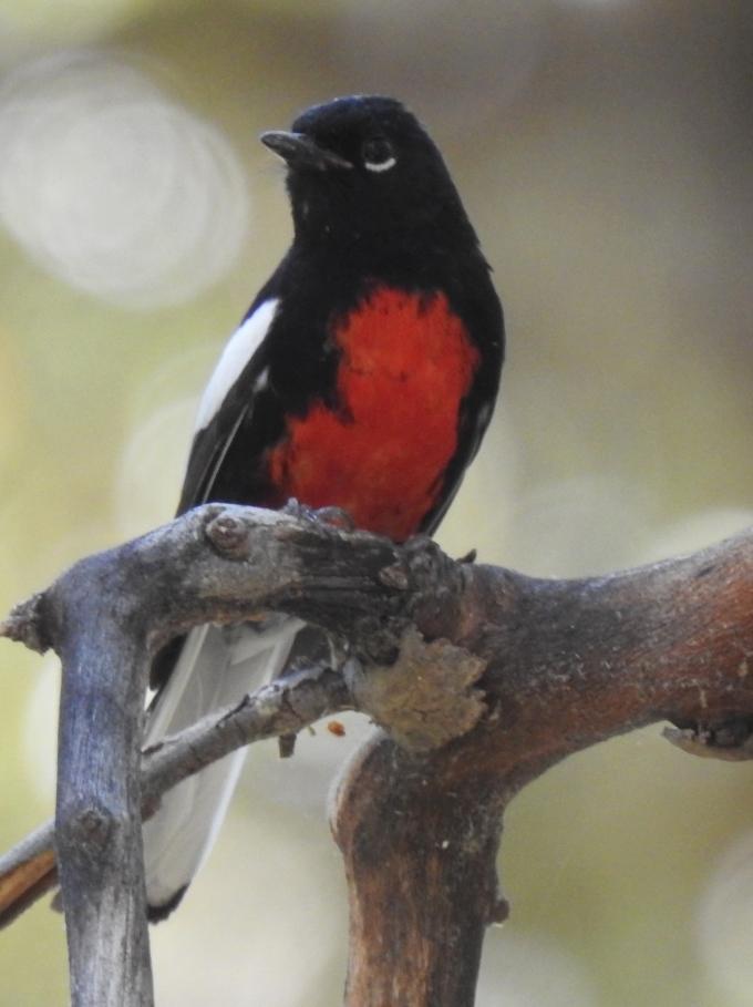 Painted Redsstart, Miller Cyn, Huachuca Mtns, AZ