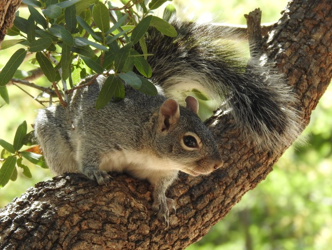 Arizona Gray Squirrel, Ash Cyn Bird Sanctuary, Huachuca Mtns, AZ