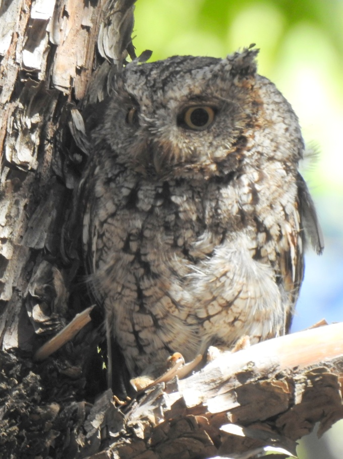 Whiskered Screech-Owl, Scotia Cyn, Huachuca Mtns, AZ
