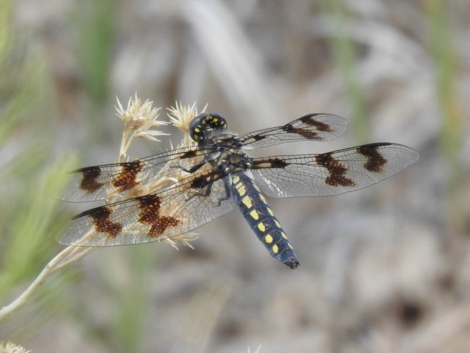 Eight-spotted Skimmer, Hidden Spring, Soldier Meadow ACEC, NV