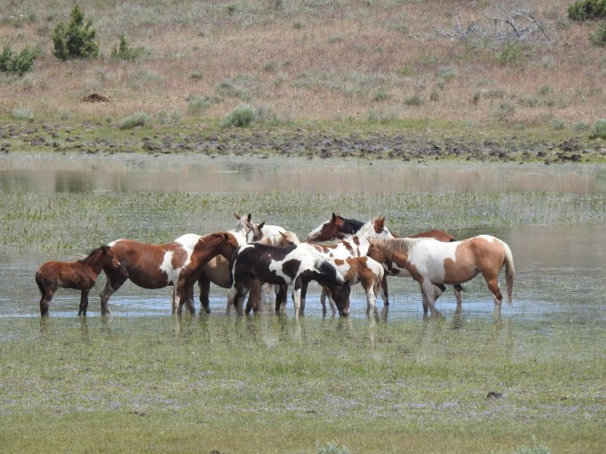 Feral Horses, South side Steens Mtn Loop Road, OR