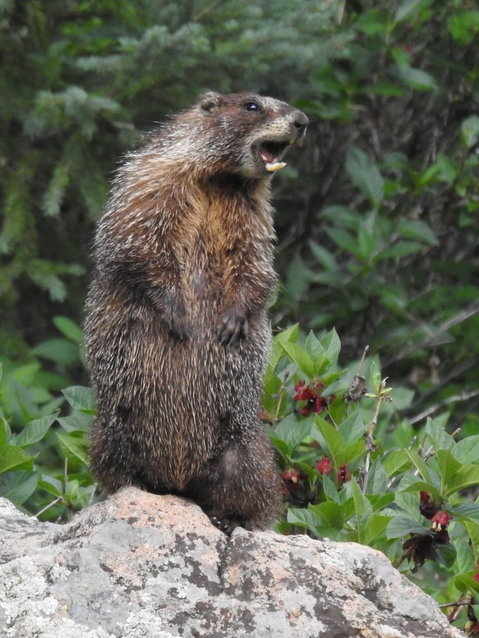 Yellow-bellied Marmot, Gunnison Pass Trail, Crested Butte, CO