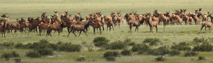 Herd of ca 270 Elk, High Creek Fen TNC Preserve, South Park, CO