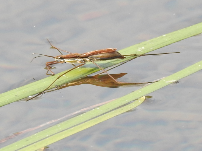 Water Strider, Lower Cataract Lake, White River NF, CO