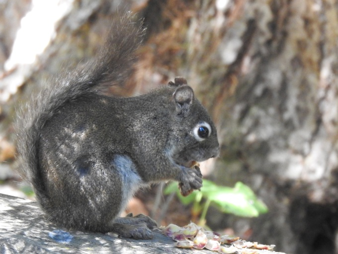 Red Squirrel, Ouzel Falls Trail, Rocky Mountain NP, CO