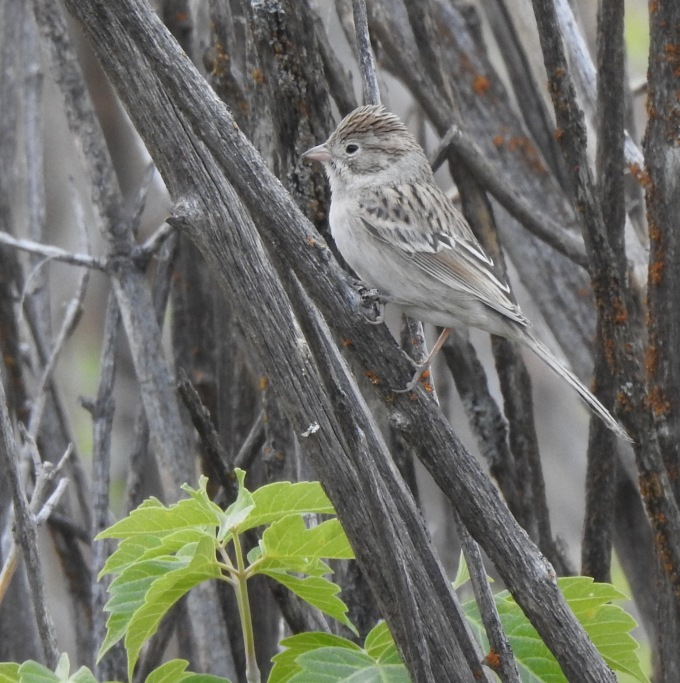Clay-colored Sparrow, Rifle Falls SP, CO