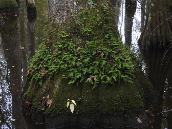Pleopeltis polypodioides, Natchez Trace Parkway, AL