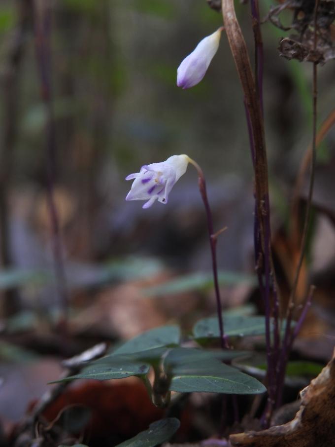 Apteria aphylla, Beaverslide Trail, Big Thicket, TX