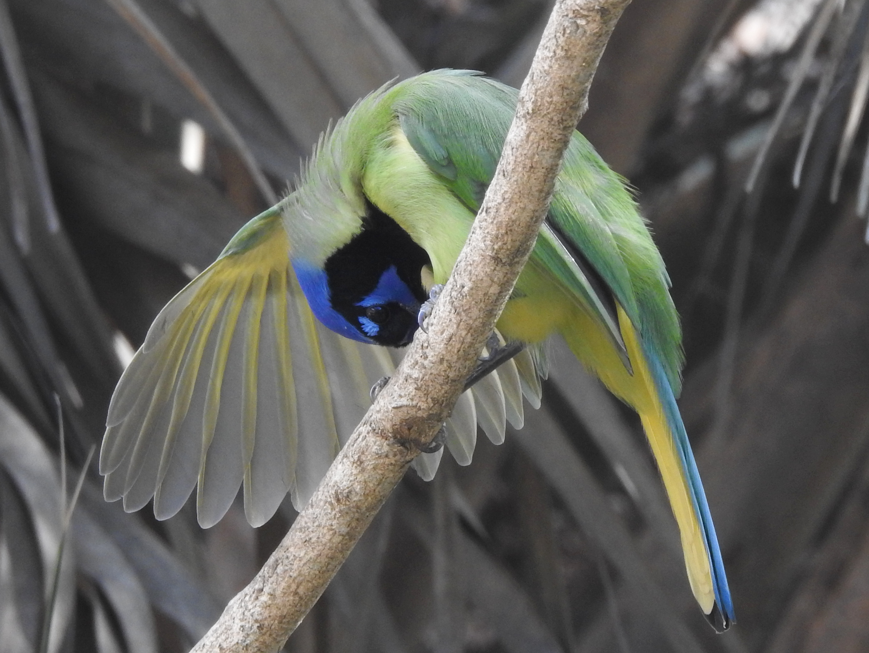 Green Jay, Sabal Palm Sanctuary, Brownsville, TX