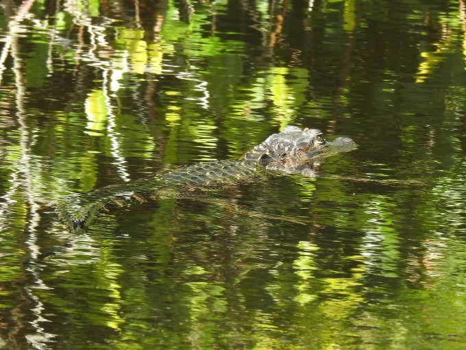 American Alligator, Halfway Creek, Big Cypress Nat. Pres., FL