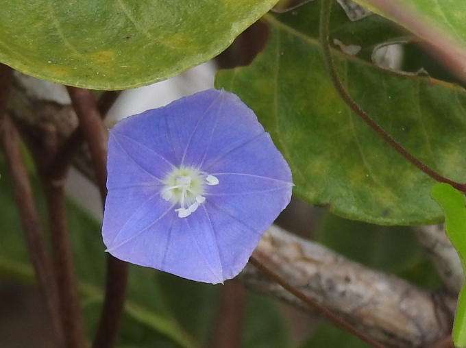 Jacquemontia pentanthos, Key Deer NWR, Big Pine Key, FL