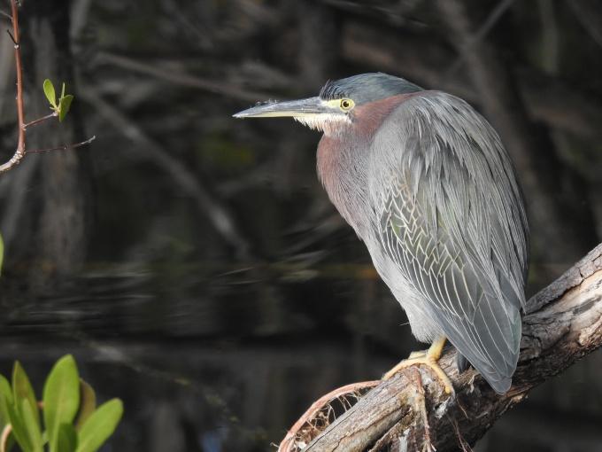 Green-backed Heron, Key Deer NWR, Big Pine Key, FL