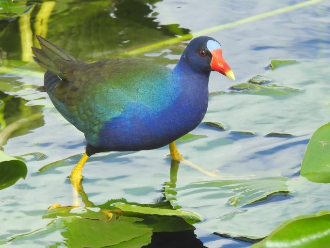 Purple Gallinule, Anhinga Trail, Everglades NP, FL