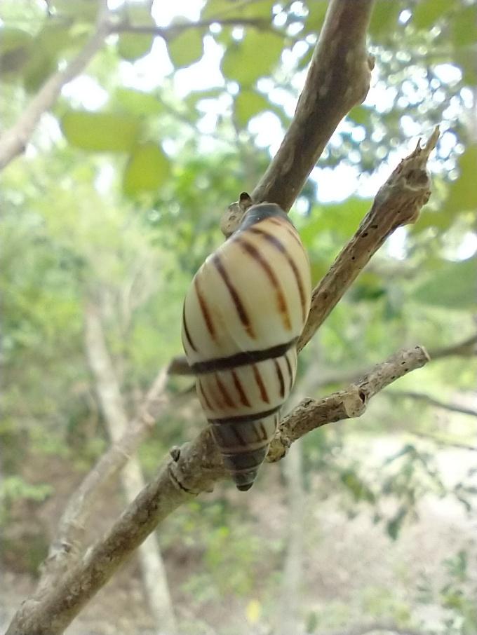 Lined Tree Snail, Windley Key Fossil Reef Geologic SP, FL