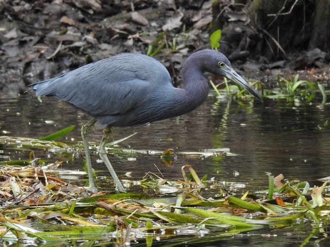 Little Blue Heron, Silver River, Silver Springs SP, FL