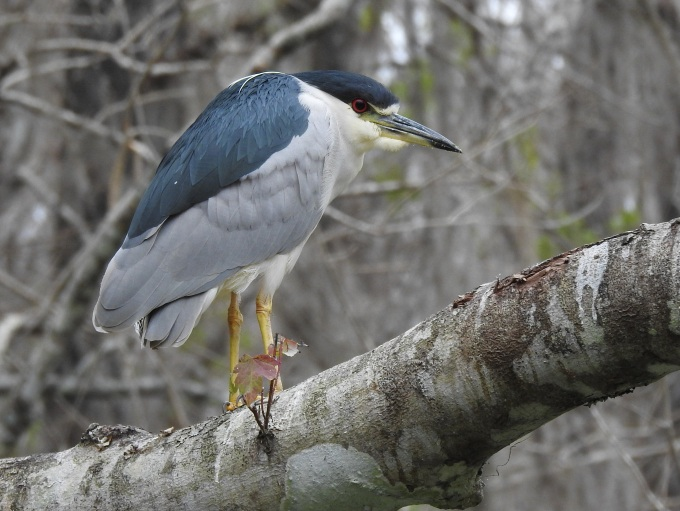 Black-crowned Night-Heron, Silver River, Silver Springs SP, FL