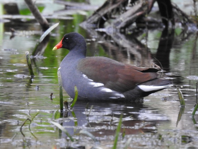 Common Gallinule, Silver River, Silver Springs SP, FL