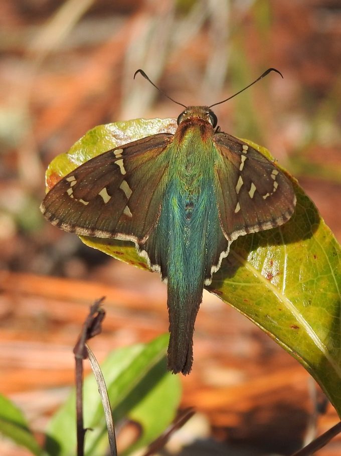 Long-tailedSkipper, Tiger Bay SF, FL