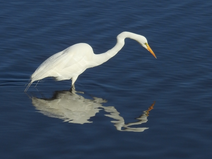 Great Egret, Myakka R SP, FL