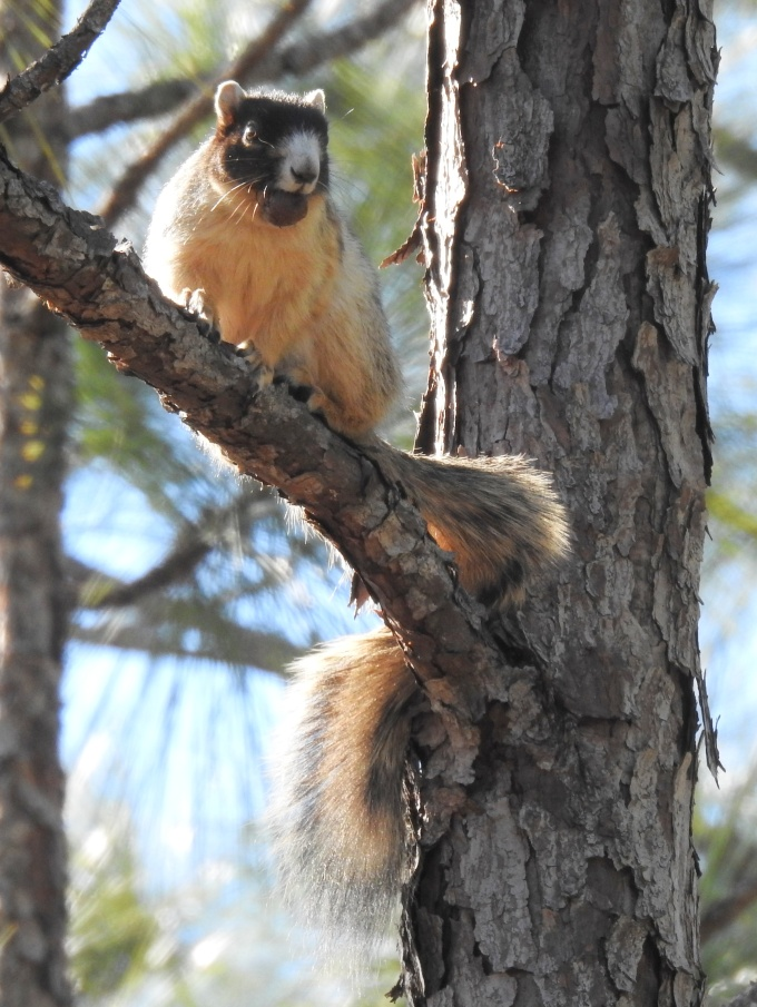 Fox Squirrel, Blackwater River SP, FL