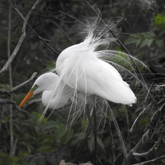Great Egret, Smith Oaks Bird Sanctuary, High Island, TX