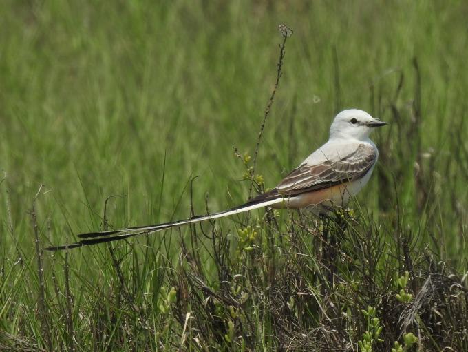Scissor-tailed Flycatcher, Retillon Rd, Bolivar Peninsula, TX