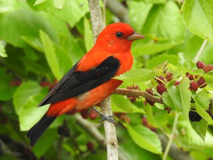 Scarlet Tanager, Pevetto Woods Sanctuary, Cameron Parish, LA