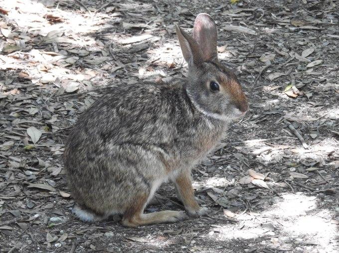 Swamp Rabbit, Smith Oaks Bird Sanctuary, High Island, TX