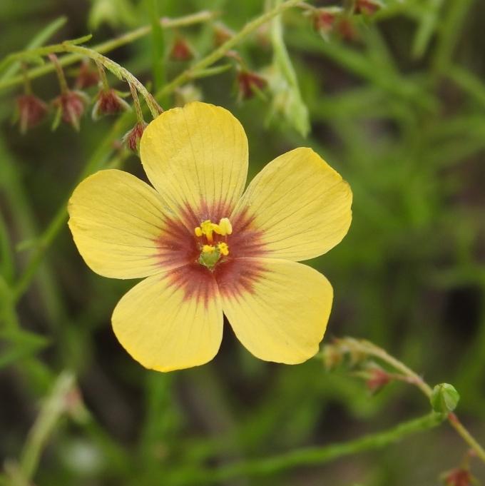 Linum hudsonioides, McKinney Roughs Nature Park, W of Bastrop, TX