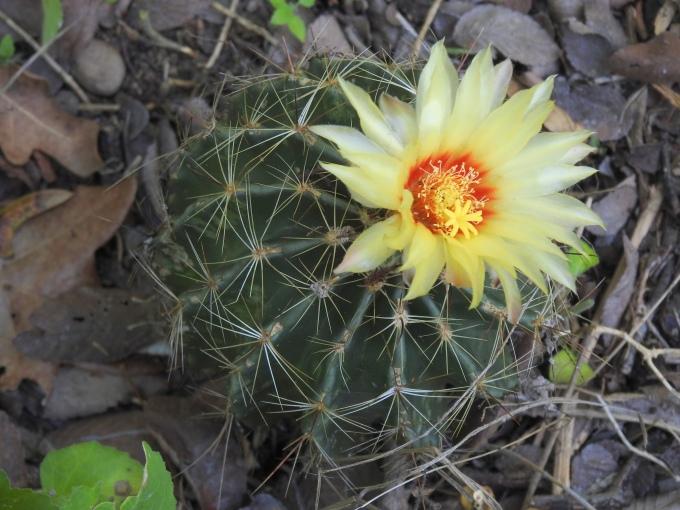 Hamatocactus bicolor, Red Bluff Neighborhood Park, Austin, TX